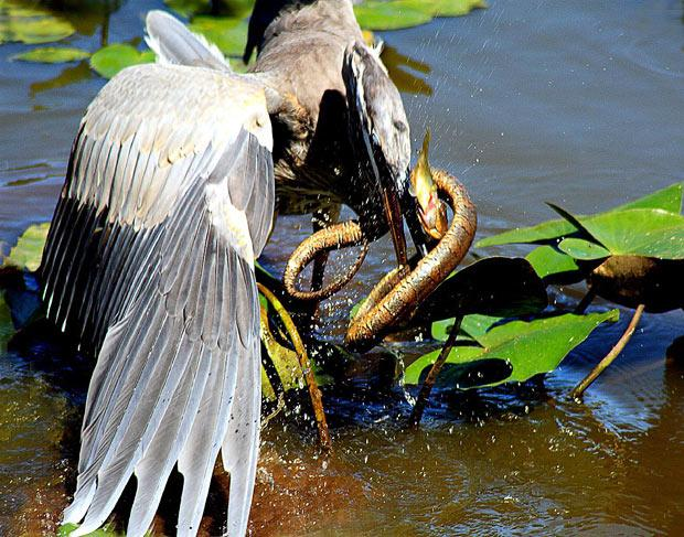 In this gallery we look back at the pictures we published this year showing animals eating other animals - and the ones that got away. This picture captures the food chain in one shot as a heron tries to gobble a snake that is eating a fish. The snap was taken by David Crooks in a wetlands area near the Potomac River in Montgomery County, Maryland, USA