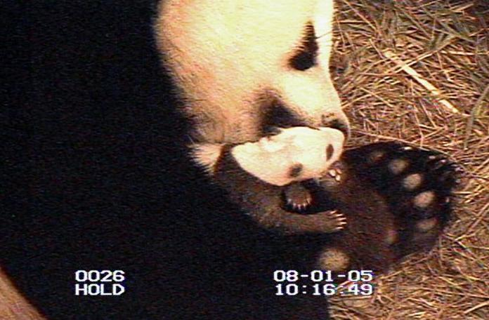 Aug. 1, 2005: Zoo staff have been waiting until the mother left the cub regularly for several minutes at a time so they could close the door to the birthing area and examine the young panda, born July 9, 2005, without causing Mei Xiang undue stress. Courtesy of Smithsonian's National Zoo-Reuters