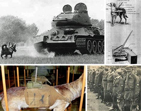 The brutality of war can be reflected by the means with which it's fought. Anti tank dogs were a soviet creation, and said to have taken down over 300 German tanks during World War II. Dogs were taught to find food under tanks, and then starved before a battle. They would have bombs strapped to their backs, with levers that would trigger as soon as it hit the underside of a tank. When the lever snapped back, the dogs would explode, destroying the tank. The Germans eventually fought this tactic with flamethrowers, and a couple cases of dogs running amok away from battlefields was enough to cut back the program.