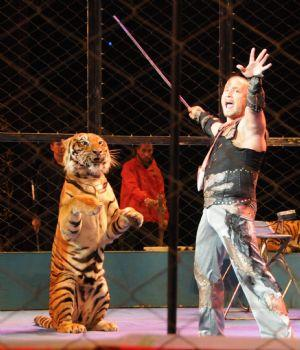 A Russian tiger trainer performs with a tiger during the 12th China Wuqiao International Circus Festival in Shijiazhuang, capital of north China's Hebei Province, Nov. 2, 2009.[Xinhua]