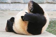 Head over heels! The Giant Panda who did a roly-poly in his sleep