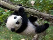 Первая встреча детеныша бамбуковой панды Юньцзы с публикой