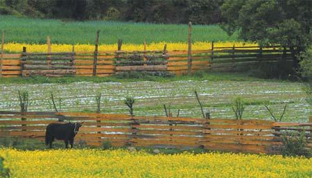 Rapeseed flowers in Bayi, capital of Nyingchi prefecture.