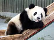 ЭКСПО-панды пробуют свежие побеги бамбука