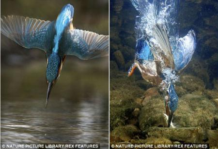 The kingfisher spots a fish below the surface and takes a premise aim (L) before entering the water like a dart by tucking in its wings to snap up its catch. (Photo Source: CRIOnline/Agencies)
