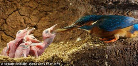 In the cosy confines of a riverbank nest, this dedicated female kingfisher feeds her eight-day-old chicks, one at a time, with fish such as minnows and sticklebacks.(Photo Source: CRIOnline/Agencies)