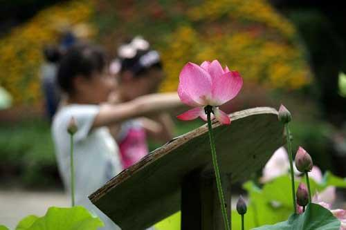 Photo taken on July 3, 2010 shows lotus flowers during the 2nd Nantong Lotus Festival held at the Seyuan Garden in Nantong, east China's Jiangsu Province. Some 1,000 jars of lotus of more than 200 different breeds are exhibited during the 2-month lotus festival kicked off here on Saturday. (Xinhua/Huang Zhe)