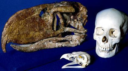 ThisundatedhandoutimageprovidedbyOhioUniversityshowsafossilskulloftheterrorbirdAndalgalornis,comparedwiththeskullofamodern-daygoldeneagleandahumanskullforscale.Andalgalorniswasanextinct,1.52-meter-tall,flightlesspredatorybirdfoundas6-million-year-oldfossilsinnorthwesternArgentina.(PhotoSource:gb.cri.cn)