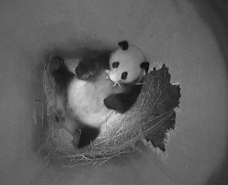 A still image from a monitoring camera shows giant panda mother Yang Yang holding her newborn cub inside a birth box at Vienna zoo, on the day of the cubs birth August 23, 2010. The panda cub, whose sex is not yet detectable, measures some 10 to 12 cm (3.9 to 4.7 in) and weighs about 100 grams, the zoo reported August 24. Picture taken August 23, 2010. Picture rotated 90 degrees.(Xinhua/Reuters Photo)