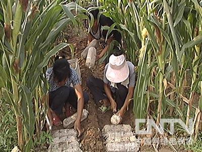 [每日农经]玉米地里的毛木耳(2010.8.24)