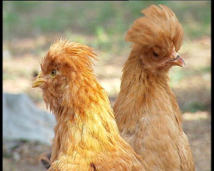 长胡子的鸡