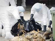 В связи с обнаружением вируса птичьего гриппа в Сянгане были забиты около 20 тыс голов домашней птицы