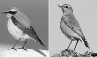 25克重的穗即鸟用大约90天的时间完成长达1.45万公里的旅程