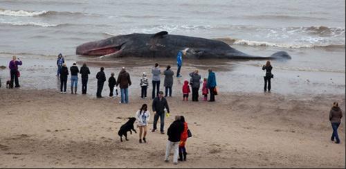 一头长10.7米的抹香鲸神秘搁浅在海滩上,附近居民纷纷前来围观。