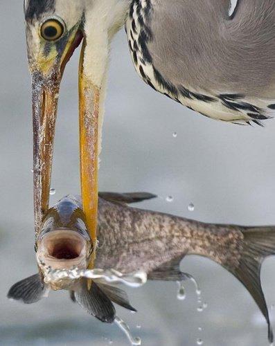 苍鹰抓获小鱼,似乎露出微笑的表情