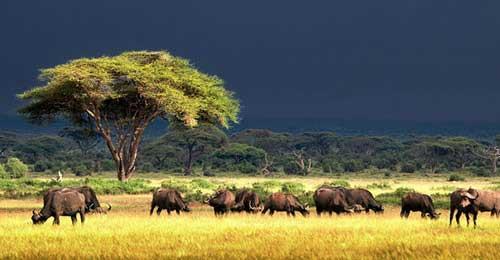 Cctv photo la beaut de la savane du kenya - Felin de la savane ...