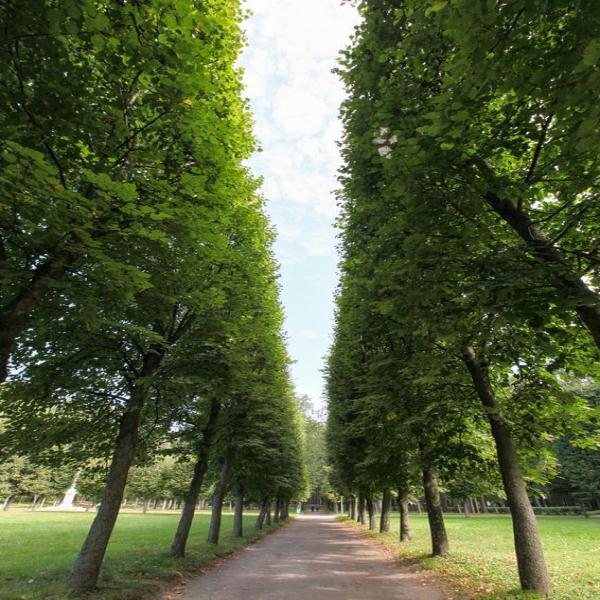 郁郁葱葱的菩提树整齐地分列在道路两侧