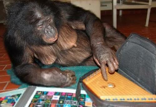 倭黑猩猩潘班尼莎会数千个英文词语并且懂得用符号与人沟通