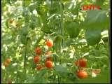 [农广天地]樱桃番茄新品种(20110927)