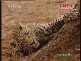 自然故事 狮豹之情(上)[人与自然] 20120113