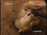 自然故事 狮豹之情(下)[人与自然] 20120114