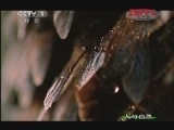 《人与自然》 20120205 人物亲历——大蜜蜂家族(下)