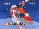 刘瑞泉养锦鲤:在日本疯狂买鱼的背后