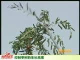 控制枣树的生长高度