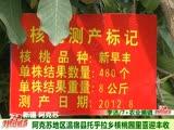 阿克苏地区温宿县托乎拉乡核桃园里喜迎丰收