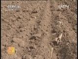 [农广天地]大蒜早衰原因及预防(20121015)