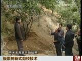 板栗树新式剪枝技术