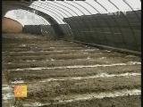 蘑菇栽培农广天地,黑皮鸡枞菌大棚栽培技术