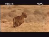[子宫日记]怀孕母狮子宫内超声影像