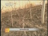 春雪桃日光温室栽培