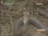 刘启文养蛇生财有道,最怕蛇的养蛇人