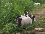 """苏宏星香猪养殖生财有道,最棒的""""猪倌""""爸爸"""