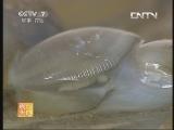 泥螺加工技术农广天地,泥螺的捕捞与加工技