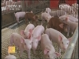 养猪技术农广天地,仔猪挑选有诀窍