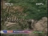《人与自然》 20130912 自然故事 豹子和疣猪的故事(上)