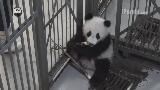 Щяо туаньцзы попробовала бамбуковый побег