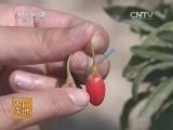 [农广天地]宁杞7号栽培技术(20140616)