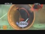 [科技苑]你知道吗 小丑鱼的母系社会(20140704)
