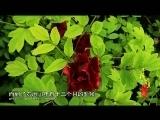 《寻找最美花园》 20140705 枯枝牡丹园:相守七百年的传奇