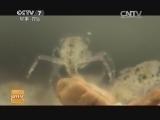"""[科技苑]河蟹""""托儿所""""(20140718)"""