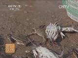 螃蟹养殖农广天地,三疣梭子蟹人工繁育技术(20140723)