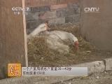 白鹅养殖技术农广天地,闽北白鹅养殖技术(20140729)