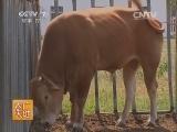 [农广天地]鲁西牛养殖技术(20140831)