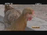 刘成军油鸡生财有道,北京油鸡十年长成记