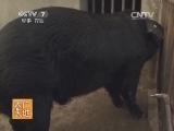 养猪技术农广天地,苏姜猪的养殖