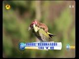 """奇妙的朋友:黄鼠狼骑啄木鸟搭便车 引网友""""神""""修图"""
